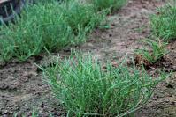 Proyecto FIA Salicornia